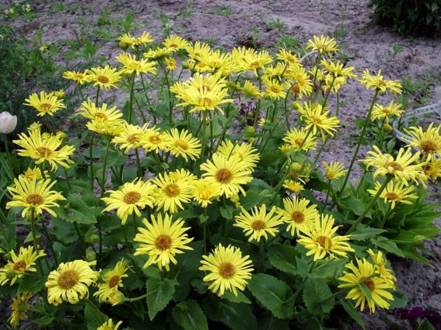 Дороникум фото цветов, посадка и уход, размножение дороникума