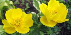 Купальница фото цветка, выращивание и уход за купальницей