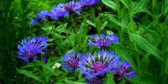 Цветок василек - описание, посадка и уход, размножение, фото