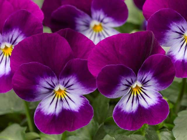 Цветок виола (анютины глазки) фото,выращивание, уход, размножение