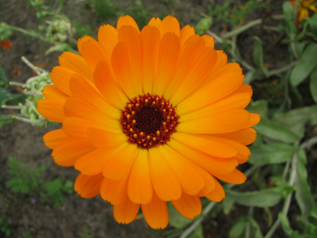 Календула фото, выращивание и посадка, уход за календулой, размножение