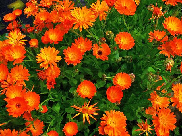Календула - ноготки растение обладающее лечебными свойствами. Фото.