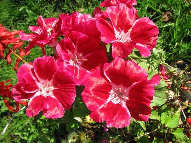 Кларкия фото, выращивание из семян, посадка и уход за кларкией
