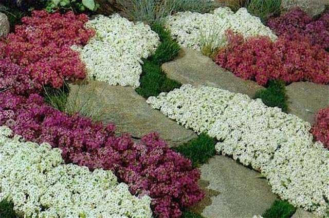 Цветы алиссум фото