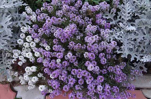 Алиссум фото, выращивание и уход за цветами алиссум
