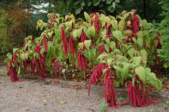 Амарант фото, описание, выращивание и уход за растением амарант