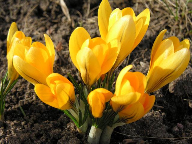 Крокусы фото, выращивание, посадка и уход за крокусами, размножение