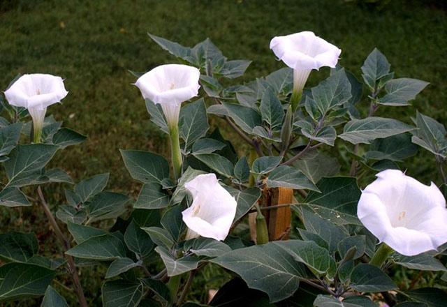 Датура (дурман-трава) фото, посадка, уход, выращивание, размножение