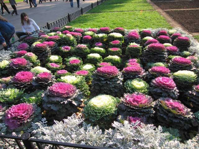 Декоративная капуста фото, выращивание, уход и размножение