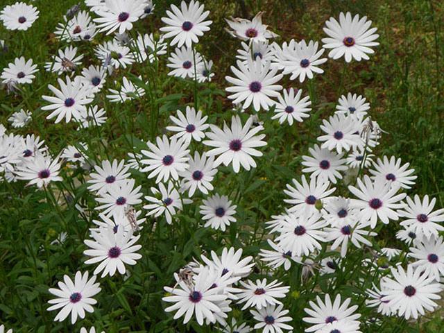 Диморфотека фото, посадка, размножение семенами, уход