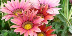 Гацания фото, выращивание из семян, посадка и уход за гацанией