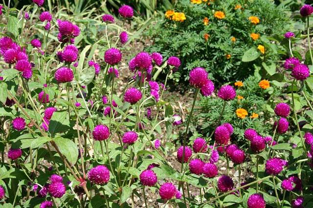 Гомфрена фото, выращивание цветка из семян, посадка и уход
