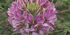 Клеома фото, выращивание из семян, посадка и уход, размножение клеомы