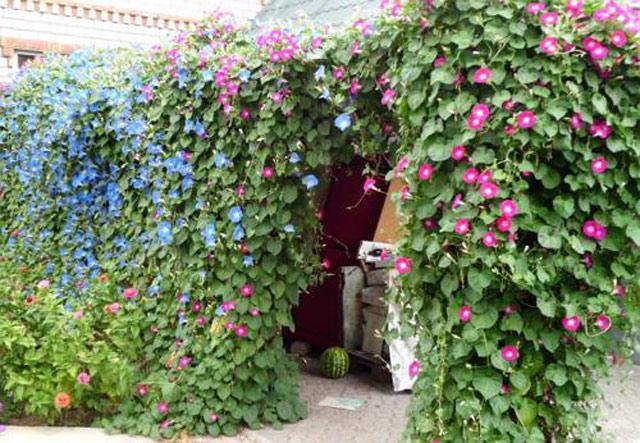 Кобея фото, выращивание из семян, посадка, размножение и уход за лианой кобея