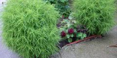 Кохия фото, выращивание из семян, посадка и уход за кохией