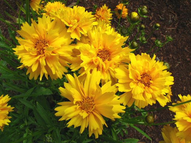 Кореопсис фото, посадка, уход, размножение семенами