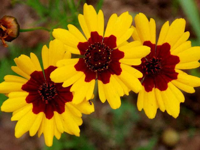 Кореопсис - яркий красавец на дачном участке фото