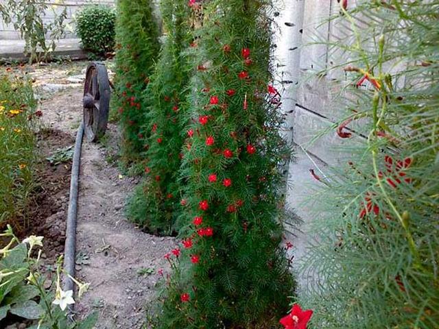 Квамоклит фото, размножение семенами, посадка и уход
