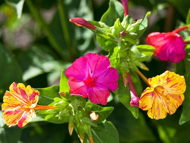 Мирабилис фото цветов, размножение, выращивание, посадка и уход за мирабилисом