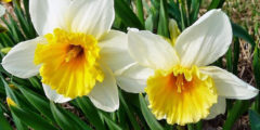 Нарциссы фото. Цветы нарциссы выращивание, посадка и уход