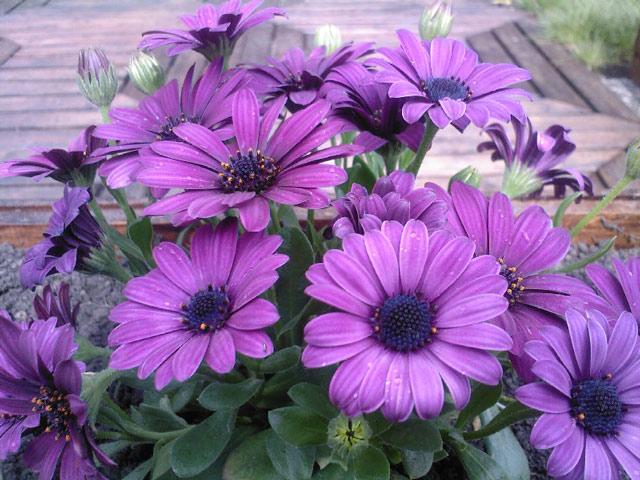 Выращивание однолетних цветов остеоспермум