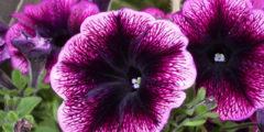 Петуния фото. Посадка и выращивание петунии, болезни цветов