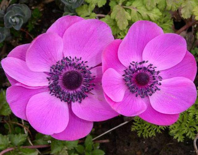 Анемоны фото. Анемоны посадка и уход за цветами в открытом грунте