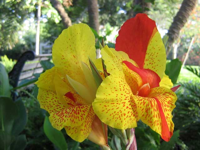 Канны великолепные цветы, посадка и уход. Фото