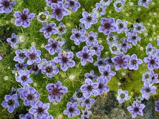 Нигелла дамасская фото. Размножение семенами, посадка и уход