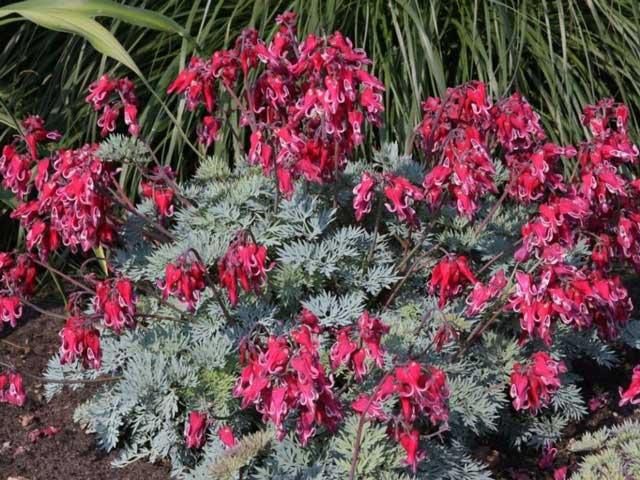 Дицентра посадка и уход за цветами, как вырастить в открытом грунте. Фото
