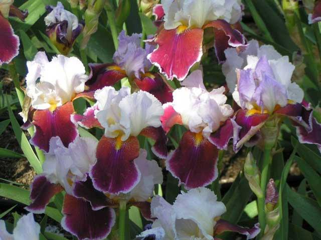 Цветок ирис посадка и уход, фото