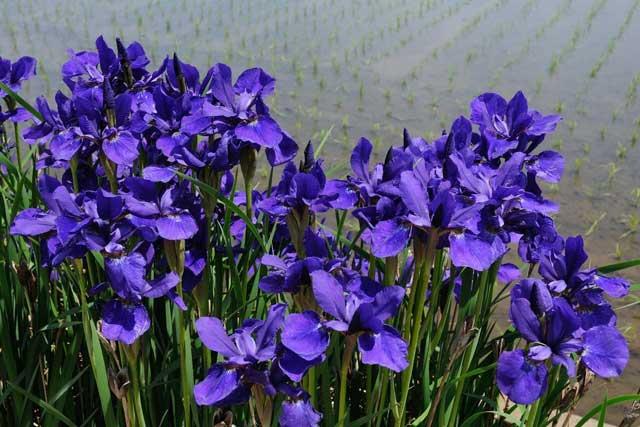 Цветы ирисы посадка и уход, фото