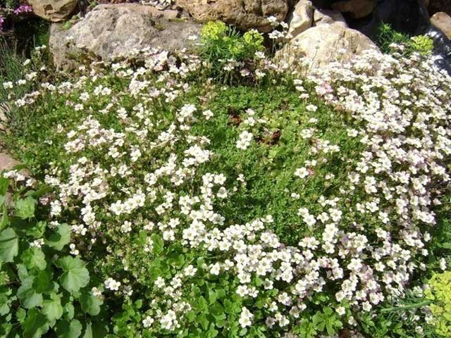 Камнеломка фото, посадка и уходза растением камнеломка