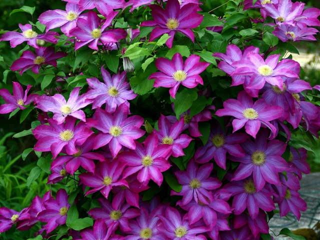 Клематис фиолетовый фото, посадка и уход за клематисом