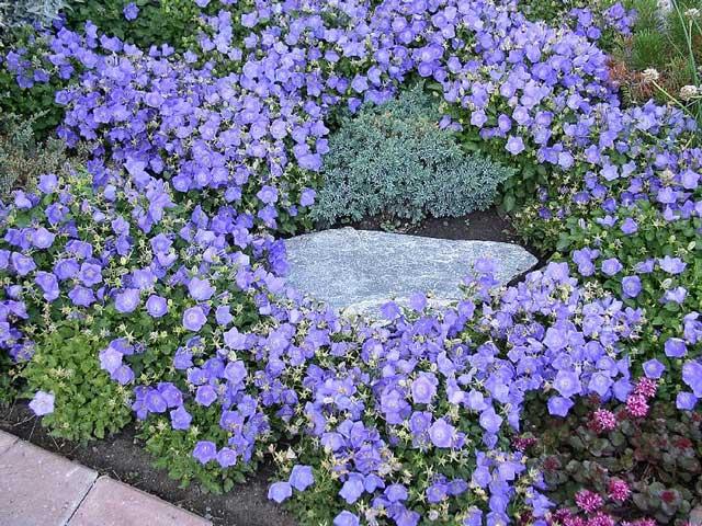 Цветы колокольчик - посадка, размножение, уход и фото
