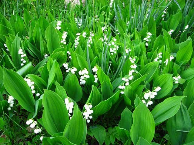 Ландыш выращивание, посадка, уход за цветком. Ландыш фото растения