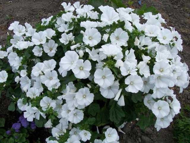 Цветы невеста садовые выращивание 61
