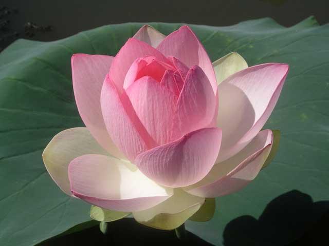 Лотос - фото цветка, выращивание и уход за цветами. Крсивые лотосы