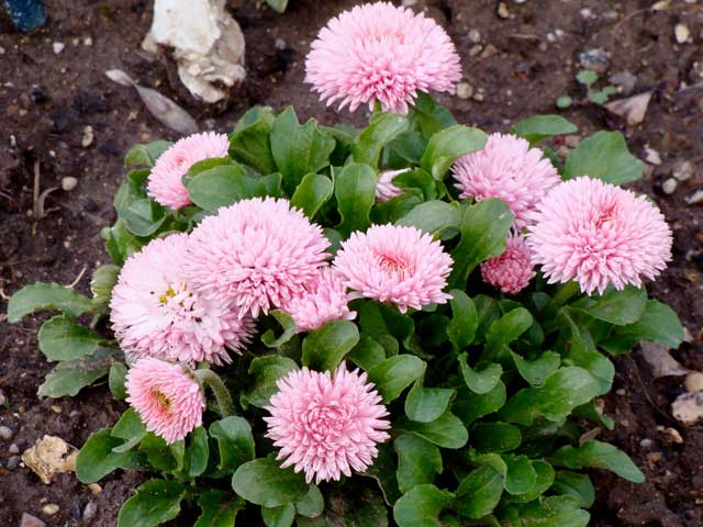 Маргаритки цветы, посадка и уход, размножение маргариток, фото
