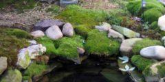 Мох выращивание, размножение, посадка, уход, фото мха
