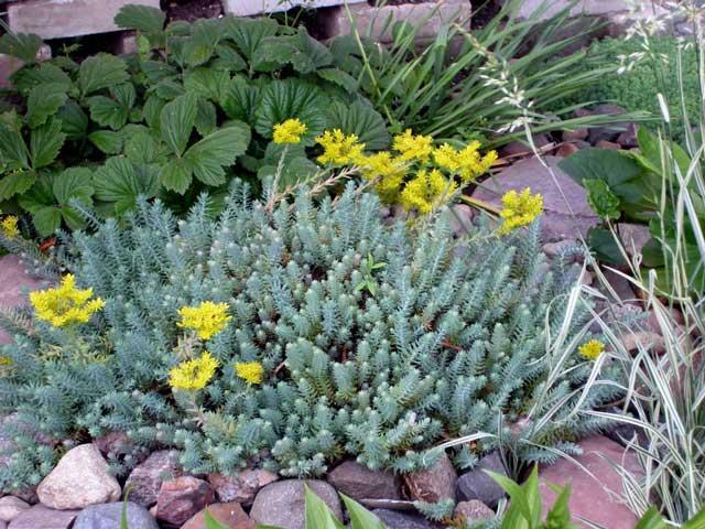 Очиток цветок - посадка и уход за очитком. Очиток фото