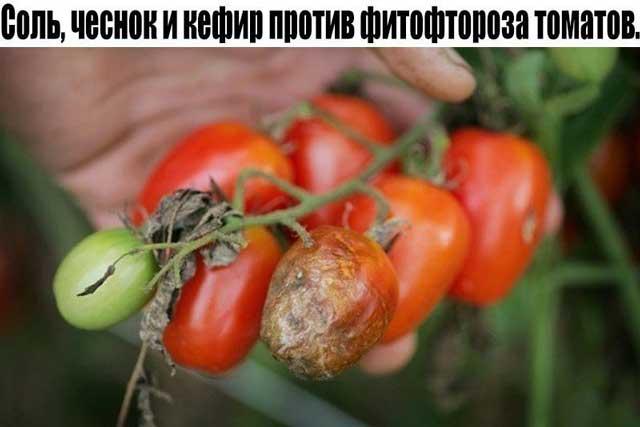 Борьба с фитофторозом томатов. Фото