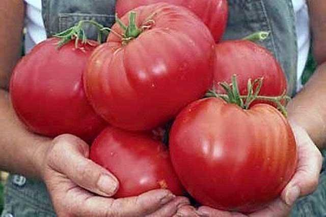 Крупные помидоры фото