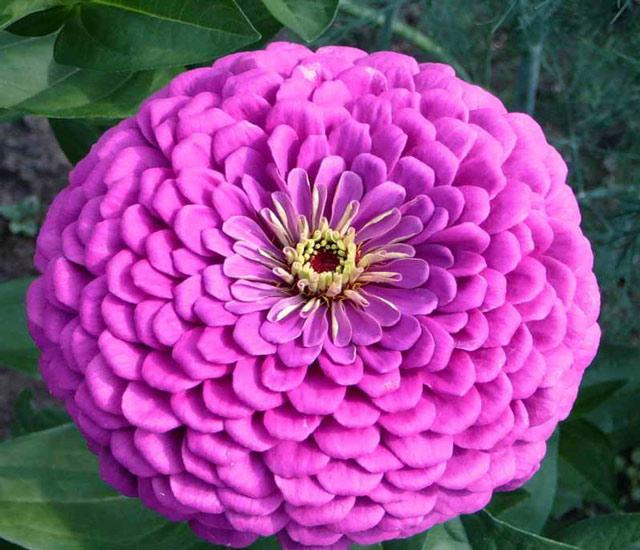 Циния фото. Цветы циния выращивание из семян, посадка, уход