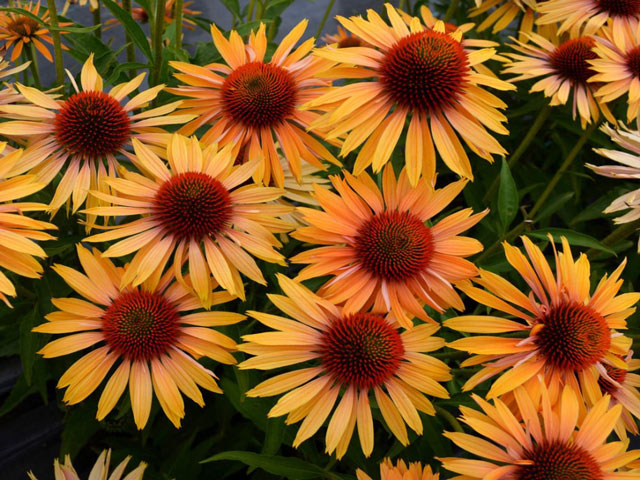 Эхинацея фото цветов