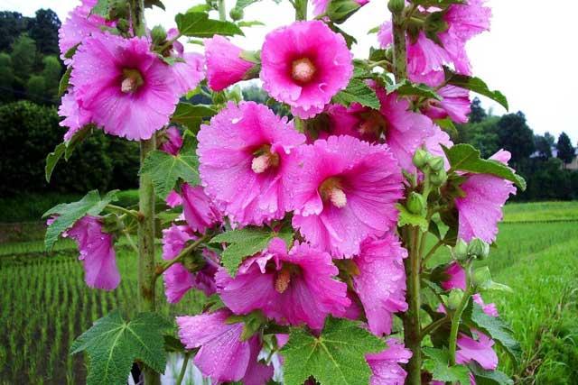 Цветок мальва картинки