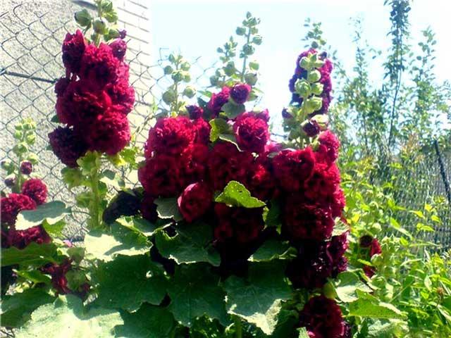 Мальва фото. Цветок мальва посадка и уход, выращивание из семян.