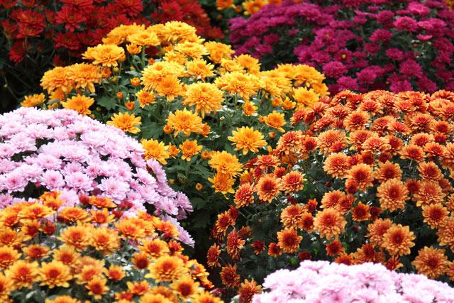 Хризантемы выращивание, посадка, уход, размножение. Хризантемы фото.