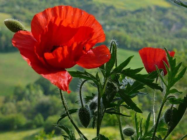 Маки выращивание, посадка, уход, размножение, описание и фото маков