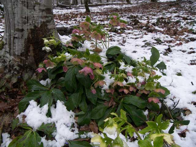 Морозник фото. Морозник посадка и уход за цветами, выращивание. Цветок.